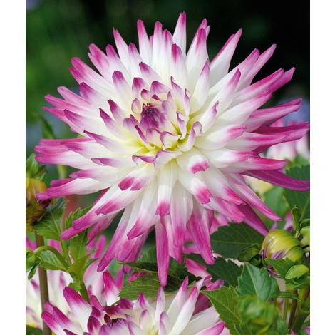 HAYLEY JANE - Le bulbe - Dahlias Cactus