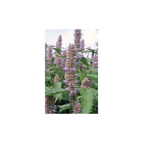 Herb - Anise Hyssop - Agastache Foeniculum