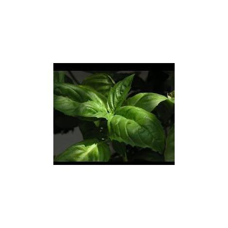 Basil Greek Suffolk Herbs 200 Seeds