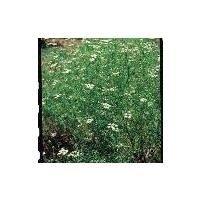 Herb - Black Cumin - Nigella Sativa