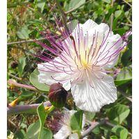 Herb - Caper - Capparis Spinosa