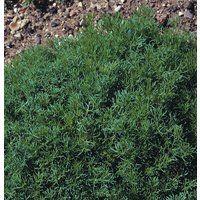 Herb - Chamomile Lawn or Roman - Chamaemelum Nobile