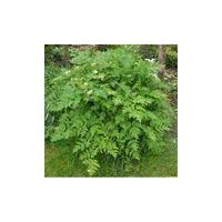 Herb - Chervil Curled - Anthriscus Cerefolium