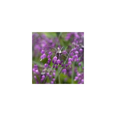 Herb - Chives - Nodding Onion - 50 Seeds (Stand)