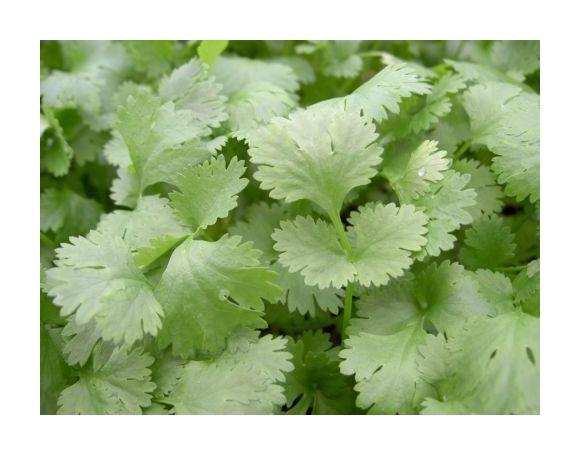 5000 Seeds Herb Coriander Green Aroma