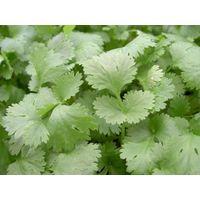 Herb - Coriander - Leisure