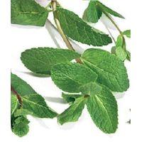 Herb - Green Mint