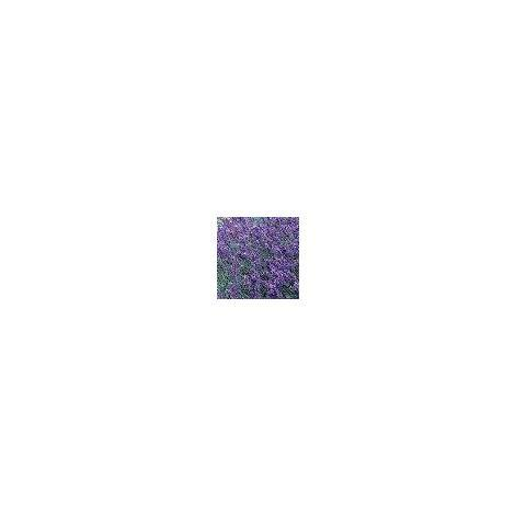 Herb - Lavender - Hidcote Blue