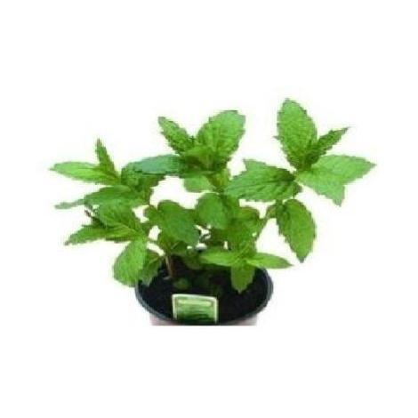 Herb - Peppermint