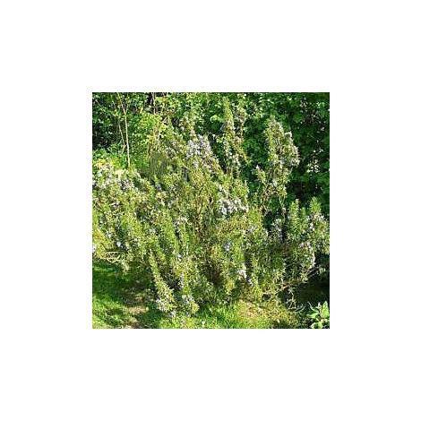 Herb - Rosemary