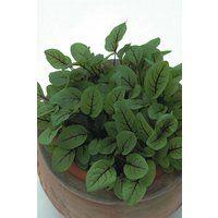 Herb - Sorrel - Red Veined