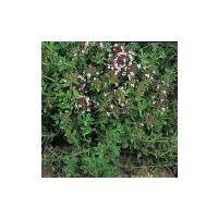 Herb - Thyme - English Winter