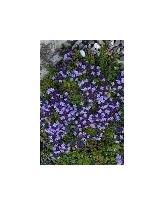 Herb Purple Creeping 2g Seeds Thyme Large