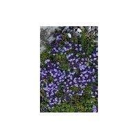Herb - Thyme - Purple Creeping