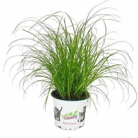 """main image of """"Herbe à chat - Cyperus alternifolius - pour le soutien digestif des chats"""""""