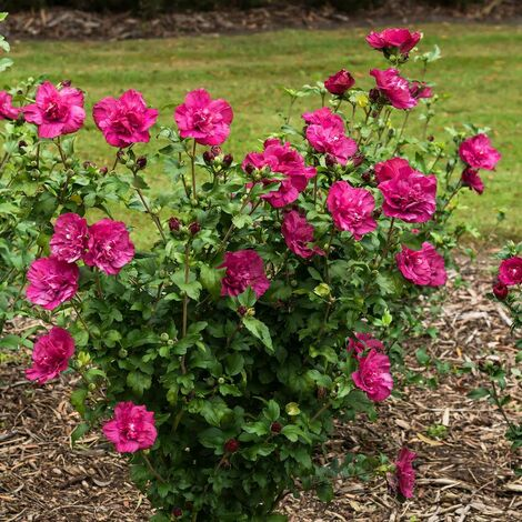 Hibiscus syriacus Magenta Chiffon® 'Rwoods5' | Pot de 7,5L - Tigette