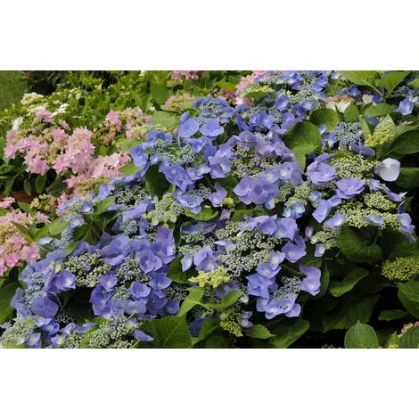 Hortensia Macrophylla Blaumeise - Le godet 9 cm, 12/20 cm ramifié - Bleu - Hortensias