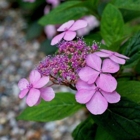 "main image of ""Hortensia Macrophylle 'Dolce Gipsy' (Hydrangea Macrophylla) - Godet 8cm"""
