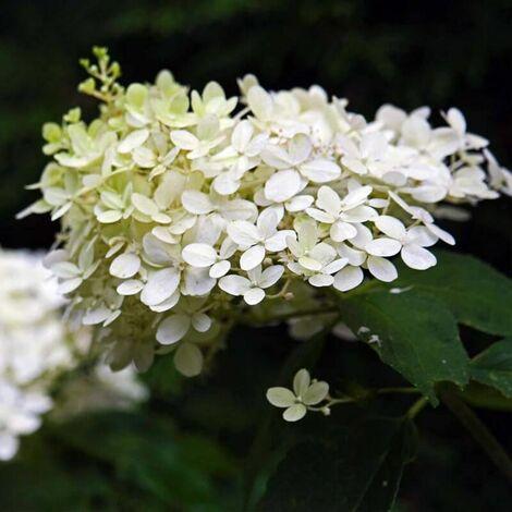 Hortensia Paniculé 'Dentelle De Gorron' (Hydrangea Paniculata) - Godet 8cm