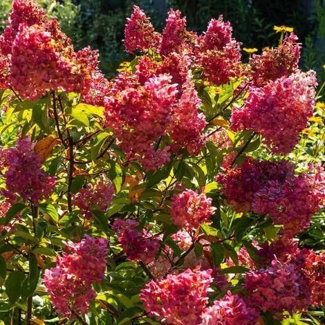 Hortensia Paniculé 'Diamant Rouge' (Hydrangea Paniculata) - Godet - Taille 13/25cm