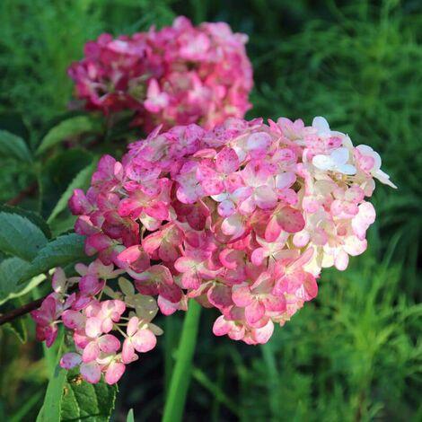 Hortensia Paniculé Fraise Melba® 'Renba' (Hydrangea Paniculata) - Godet - Taille 13/25cm