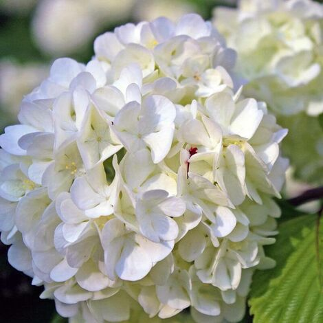 Hortensia Paniculé 'Phantom' (Hydrangea Paniculata 'Phantom') - Godet - Taille 13/25cm