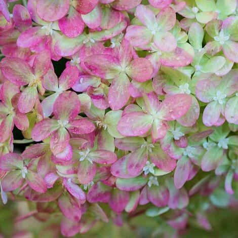 Hortensia Paniculé 'Pink Diamond' (Hydrangea Paniculata 'Pink Diamond') - Godet - Taille 13/25cm