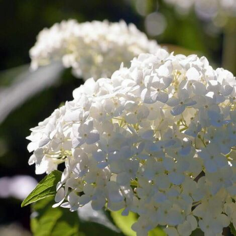 Hortensia Paniculé 'Unique' (Hydrangea Paniculata 'Unique') - Godet - Taille 13/25cm