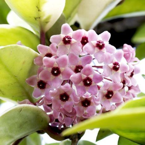 Hoya carnosa (Fiore di cera) - Ø 8/10 cm