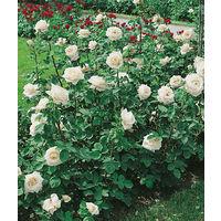 Iceberg - Le rosier en motte - rosiers polyanthas pour massifs et bordures