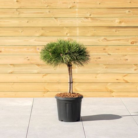 Conifer shrubs and trees