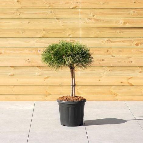 Conifere alberi e arbusti