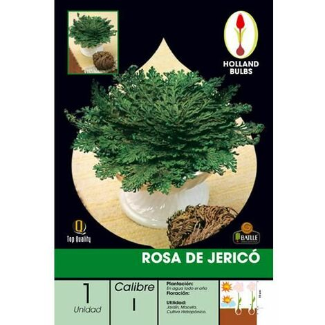 Caja Bulbo Rosa de Jericó 1 ud