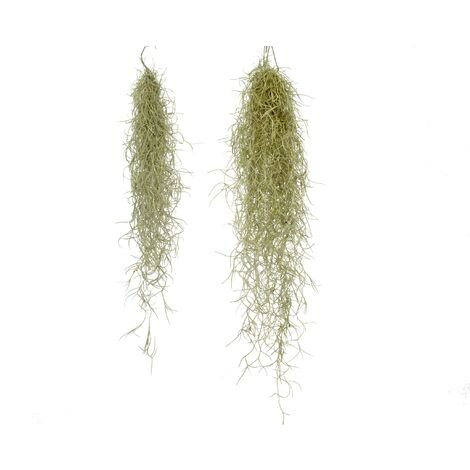 Tillandsia usneoides S: 20/30 cm