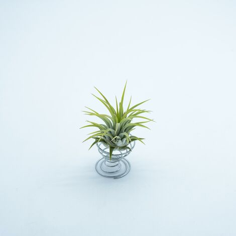 Tillandsia ionantha rubra M: 6 x 6 cm