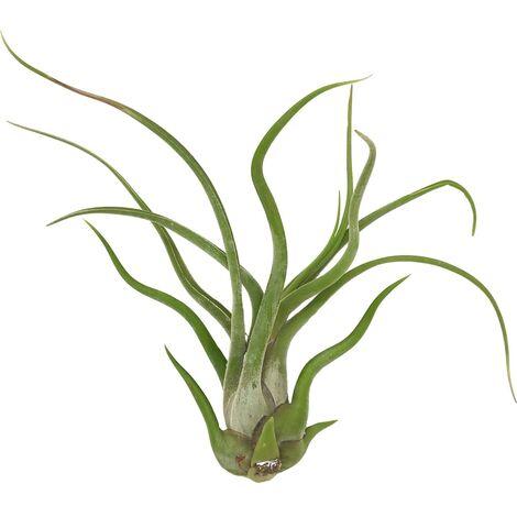 Tillandsia caput medusae M: 10 x 8 cm