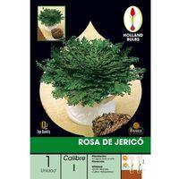 Caja Bulbo Rosa de Jericó 10 uds