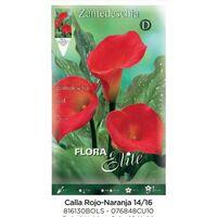 Bulbo Calla Rojo-Naranja 14/16 1 ud 10 unidades