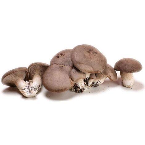 Kit 2 Pani Panetti Substrato di Fungo Funghi Cardoncelli della Puglia Pugliesi da 3 kg più cacciate con micelio selezionato di Prima Scelta