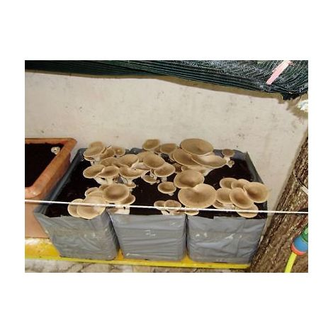 1 kit coltivazione funghi pleurotus cardoncello casa substrato pani cardoncelli