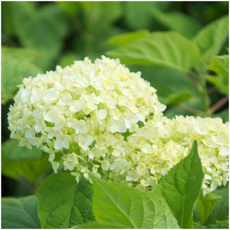 Hortensia de Virginie arborescens Annabelle | Pot de 7,5L - 60/80 cm
