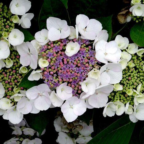 Hortensia aspera Sargentiana   Pot de 4L - 40/60 cm