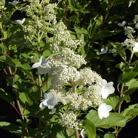 Hortensia paniculata Kyushu | Pot de 4L