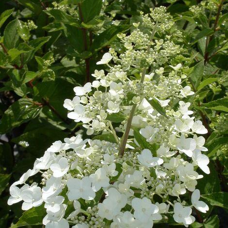 Hortensia paniculata Unique | Godet - 5/20 cm