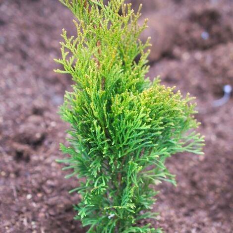 Thuya du Canada occidentalis Emeraude   Pot de 4L - 40/60 cm