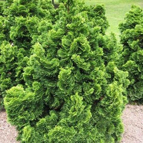 Faux cyprès obtusa Nana Gracilis   Pot de 3 L - 40/50 cm