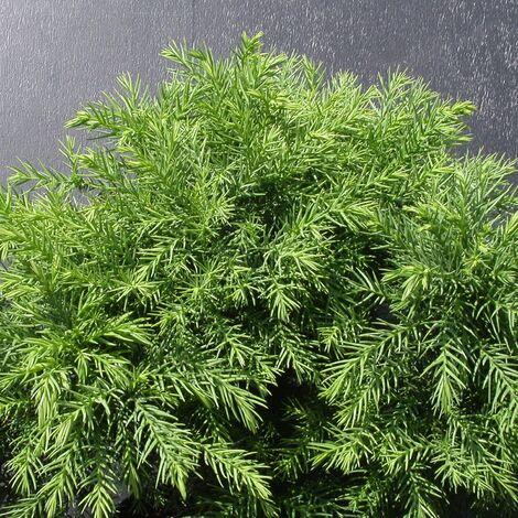 Cèdre du Japon japonica Monstrosa Nana | Pot de 5L - 40/60 cm