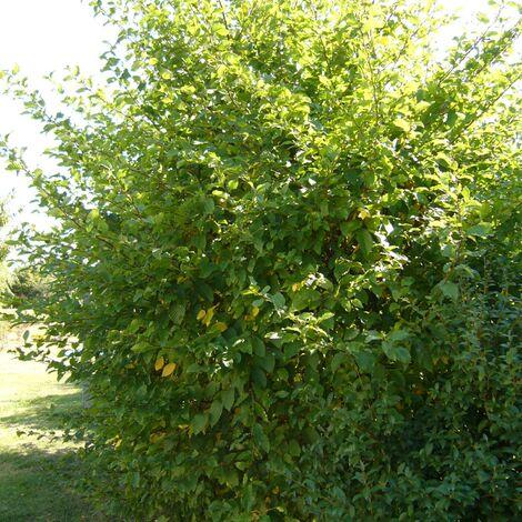 Charme betulus | Pot de 7,5L - 100/150 cm
