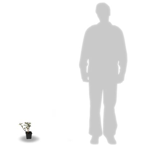 Hortensia paniculata Sundae Fraise® 'Rensun'   Godet - 5/20 cm