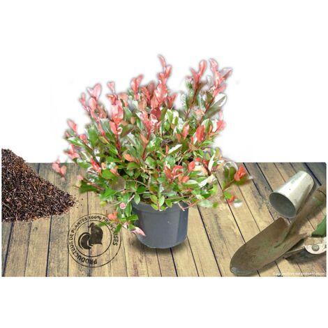 Photinia x fraseri Nana | Pot de 7,5L - 80/100 cm